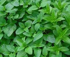 Lemon Balm by happynutritionist-flickr