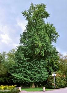 nootropoics-GINKGO-Biloba-tree