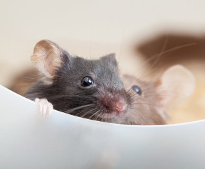 Aniracetam saves baby mice