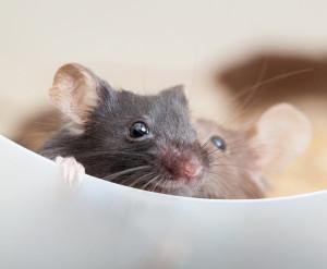 Aniracetam saves baby mice