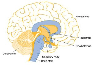 brain-regions-affected-by-thiamine-deficiency