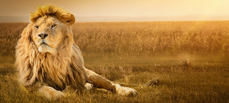 Lion's Mane prevents cognitive dysfunction