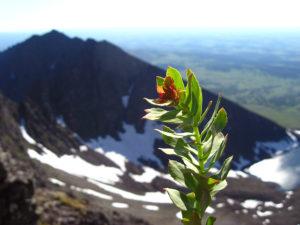 Rhodiola Rosea growing wild