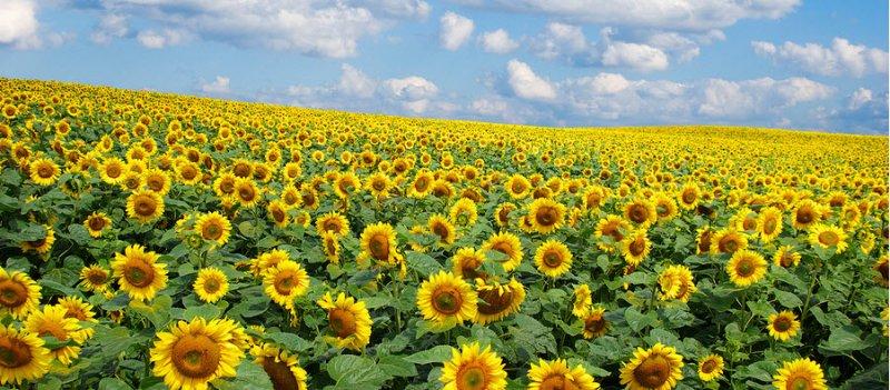 Phosphatidylserine-from-sunflower-lecithin