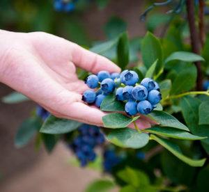 Pterostilbene from blueberries