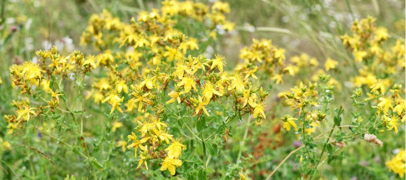 St-Johns-wort-anxiety