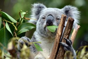 Australia nootropics