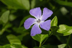 Periwinkle (Vinca Minor L.)