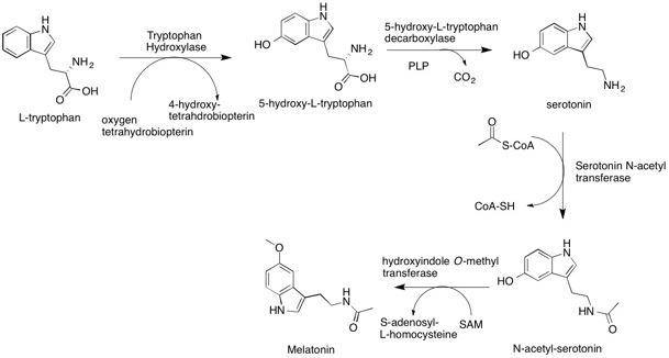 l-tryptophan-serotonin-melatonin-conversion