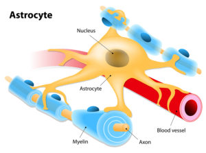 Astrocyte - glial cell - nootropics