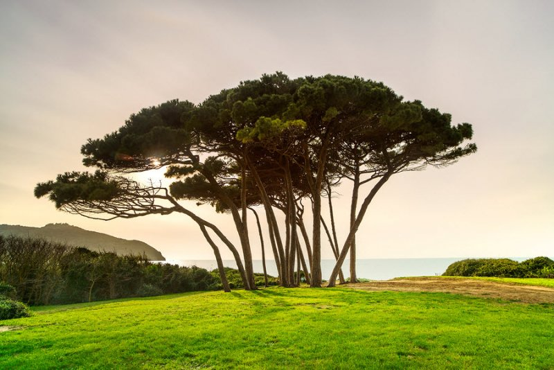 French maritime pine