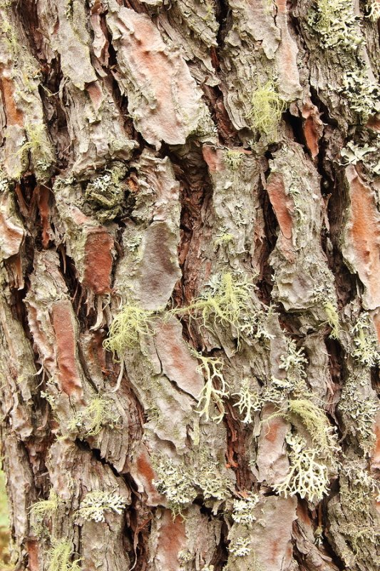 Pine Bark Extract Pycnogenol Nootropics Expert