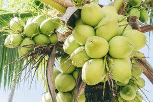Coconut Palm (Coco nucifera)