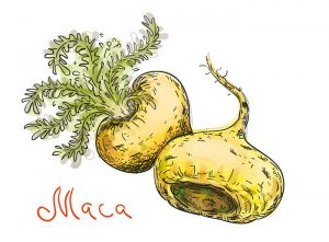 maca as a nootropic supplement